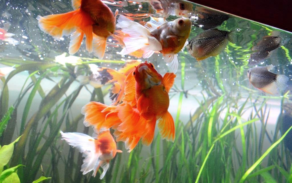 un peu moins de 1000 litres pour des poissons japonais 13102908065612740911685902
