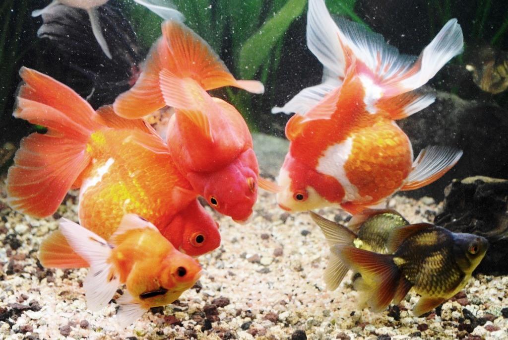 un peu moins de 1000 litres pour des poissons japonais 13102908065612740911685903