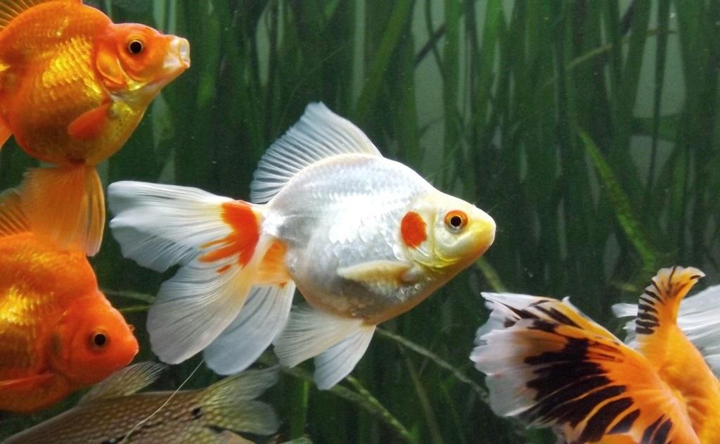 un peu moins de 1000 litres pour des poissons japonais 13102908065612740911685904