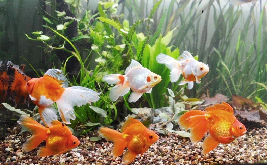 un peu moins de 1000 litres pour des poissons japonais 13102908065612740911685905