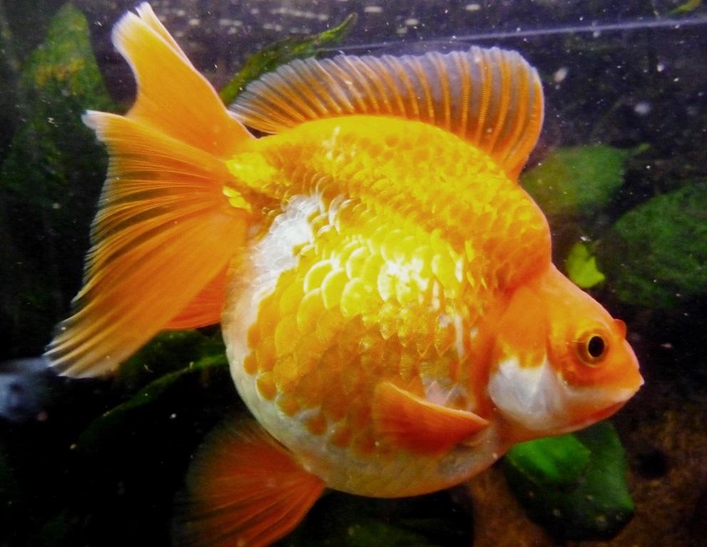 un peu moins de 1000 litres pour des poissons japonais 13102908065612740911685906
