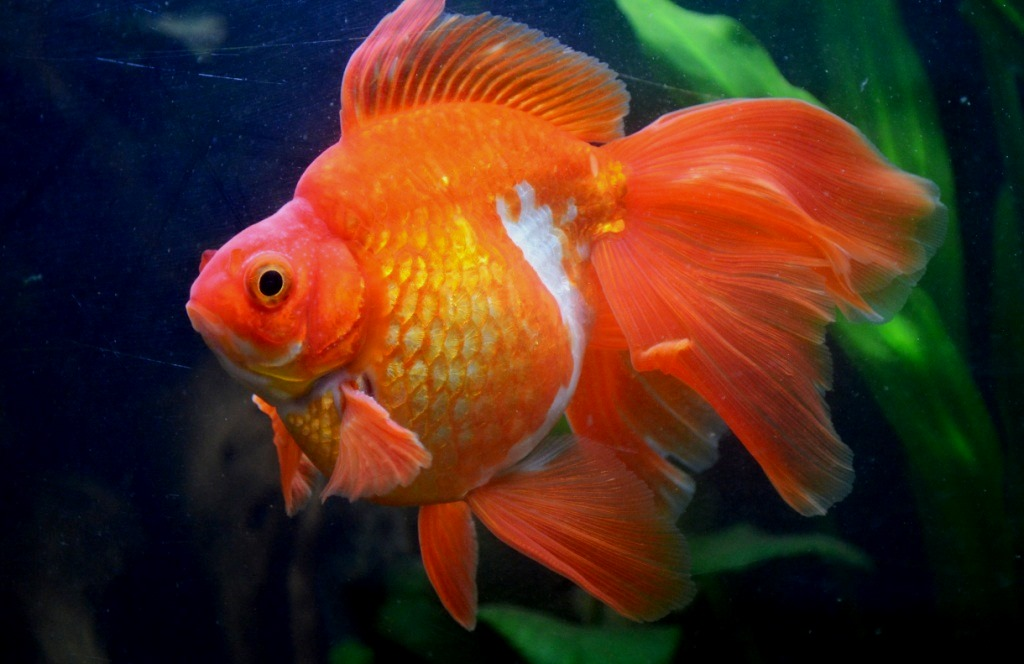 un peu moins de 1000 litres pour des poissons japonais 13102908065612740911685907