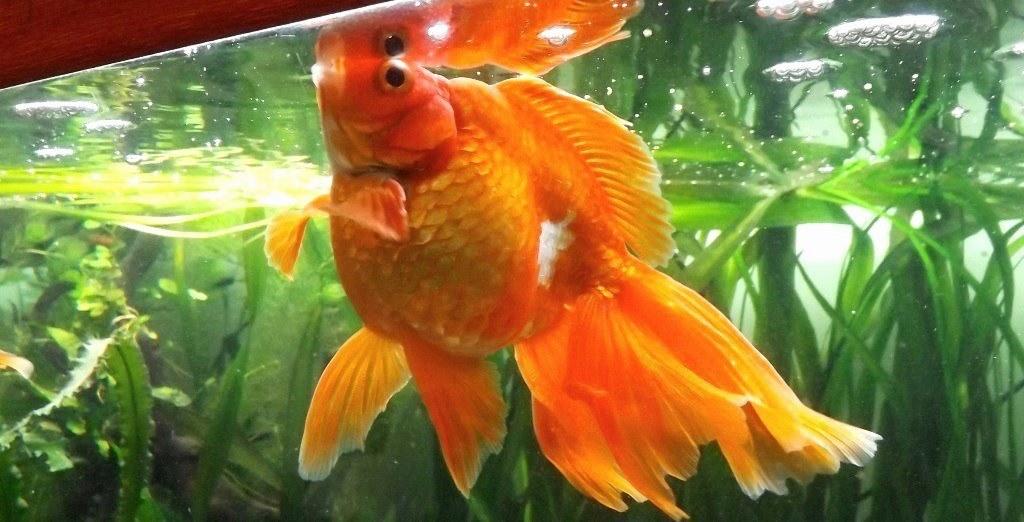 un peu moins de 1000 litres pour des poissons japonais 13102908065612740911685908