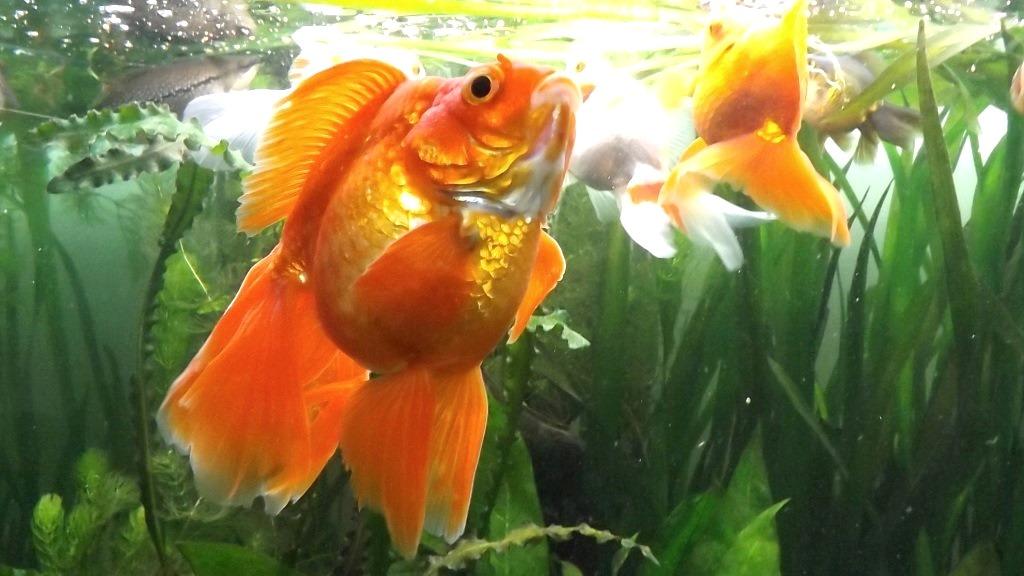 un peu moins de 1000 litres pour des poissons japonais 13102908065712740911685909