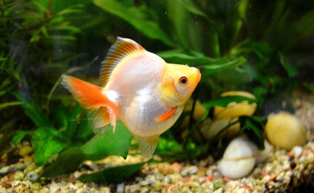 un peu moins de 1000 litres pour des poissons japonais 13102908065712740911685911