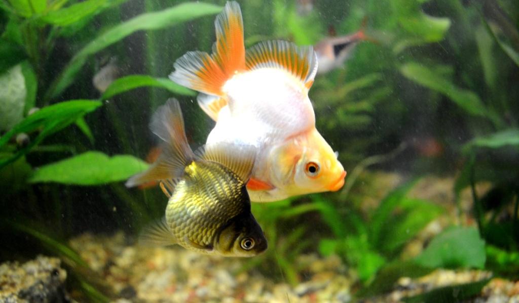 un peu moins de 1000 litres pour des poissons japonais 13102908065712740911685912