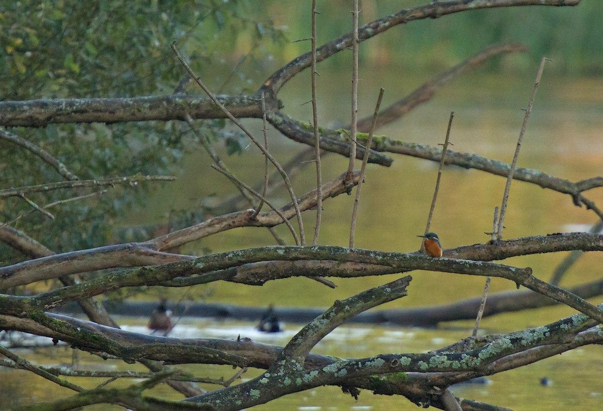 Rouge-Cloître (étang n°5) (martin-pêcheur - souchet - buse variable) 1310311223205685111689882
