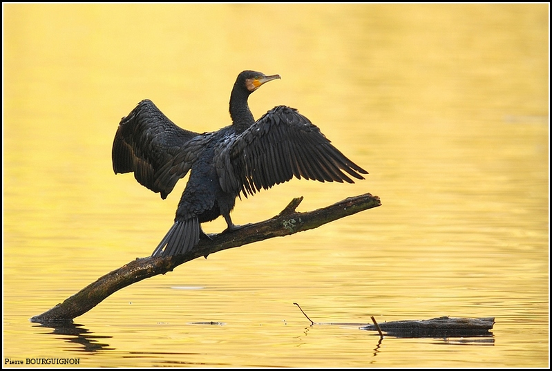 Grand cormoran (Phalacrocorax carbo) par Pierre BOURGUIGNON, photographe animalier