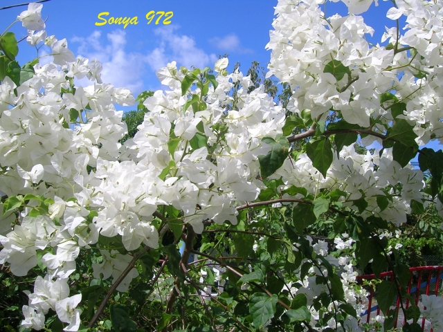 Plantes et fleurs des antilles sonya972 for Catalogue fleurs et plantes