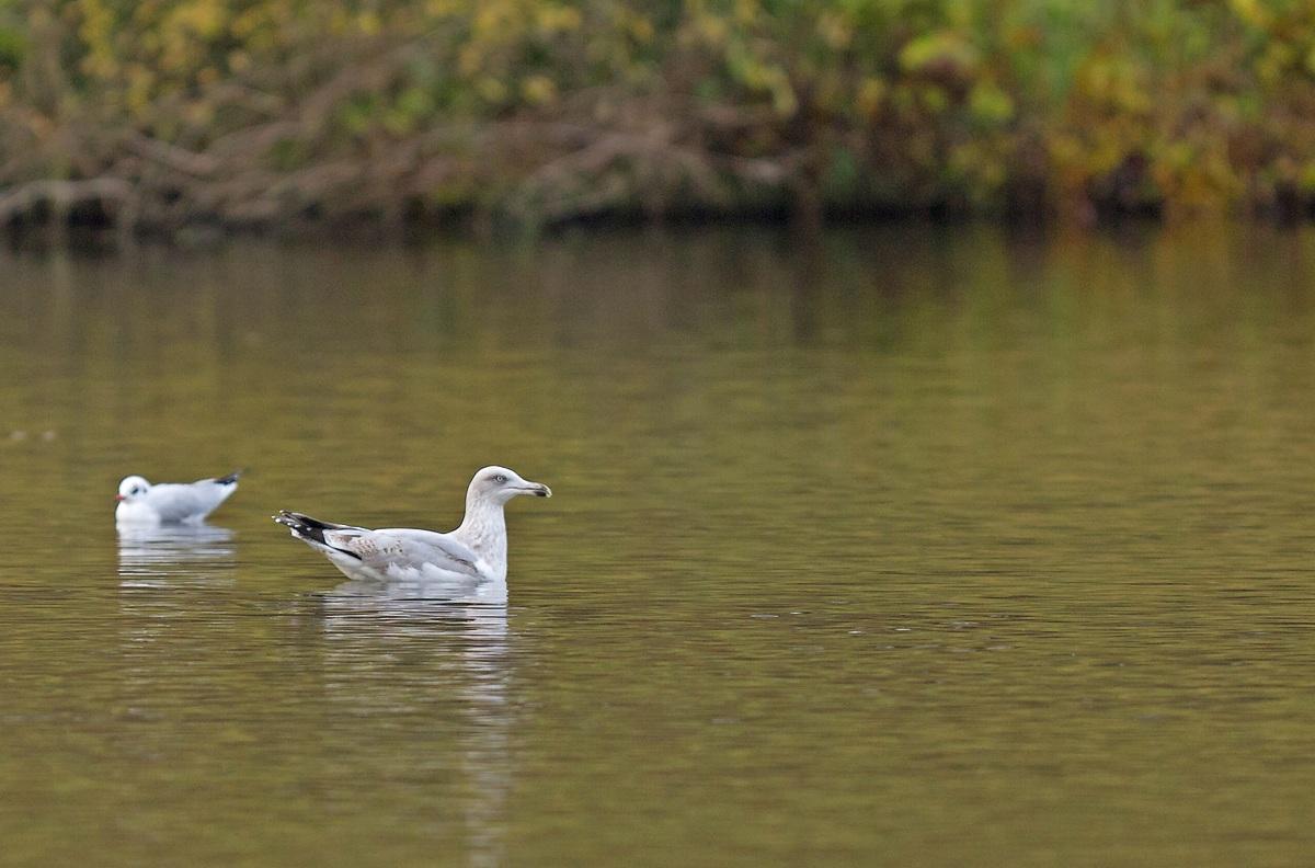 Goélands cendré (5 photos) et argenté (2 dernières photos) au Parc de la Woluwe 1312070524575685111798790