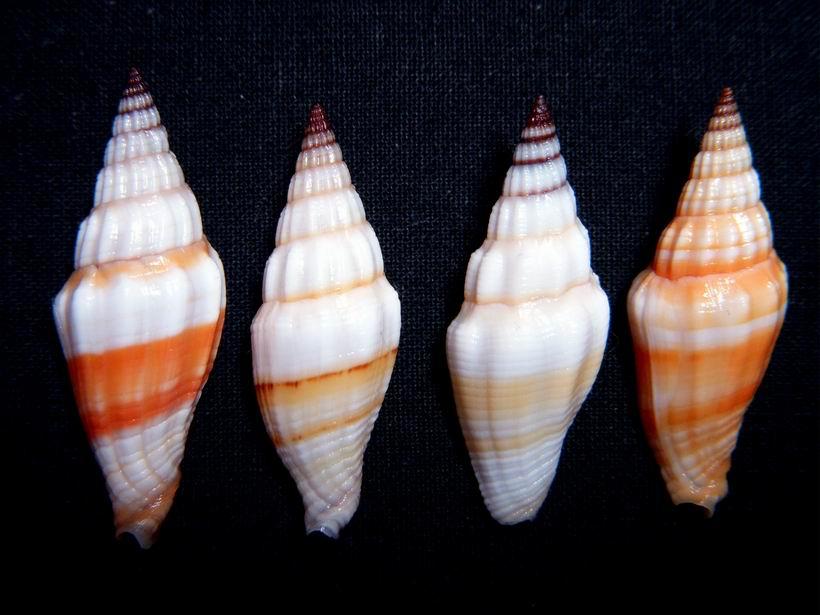 Vexillum croceorbis - Dekkers, 2013  13121703213314587711824955