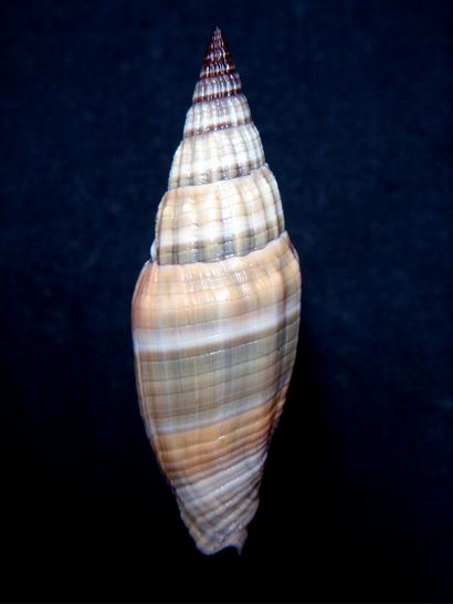 Vexillum vulpecula - (Linnaeus, 1758) - Page 2 13121703213414587711824956