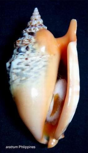 Euprotomus aratrum - (Röding, 1798) 13122210222314587711837546