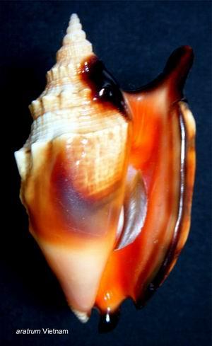 Euprotomus aratrum - (Röding, 1798) 13122210222514587711837547