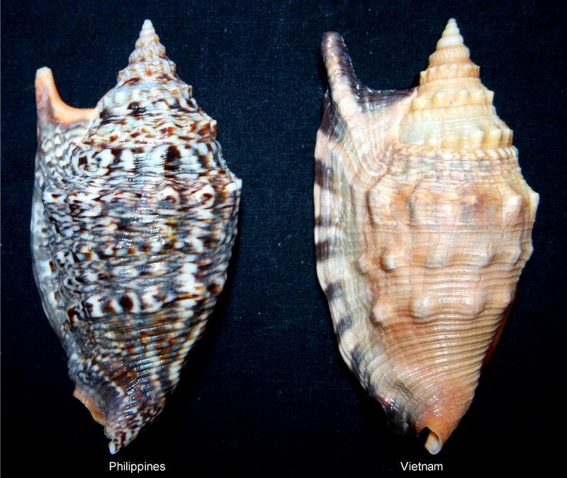 Euprotomus aratrum - (Röding, 1798) 13122210222914587711837548