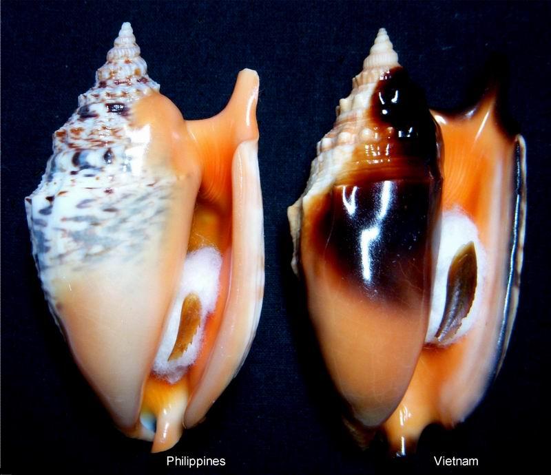 Euprotomus aratrum - (Röding, 1798) 13122210223214587711837549