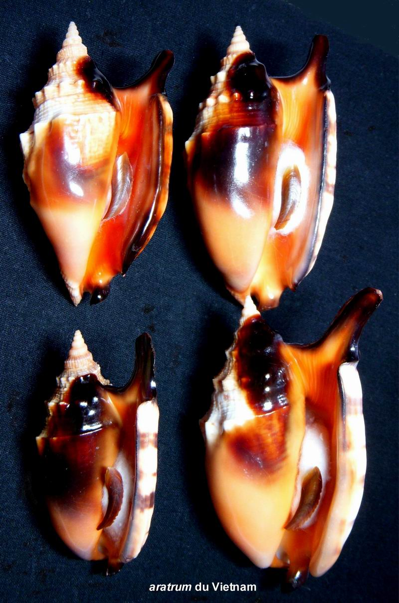 Euprotomus aratrum - (Röding, 1798) 13122210223714587711837550