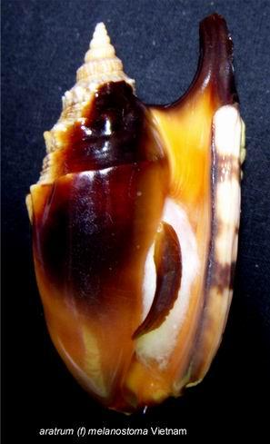 Euprotomus aratrum - (Röding, 1798) 13122210223814587711837551
