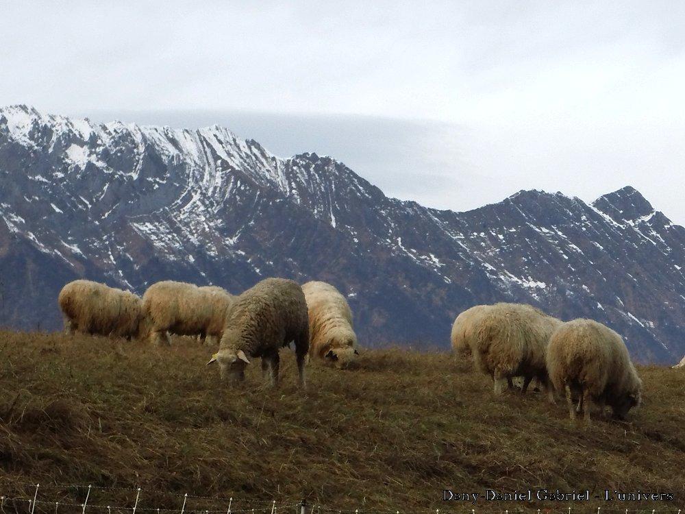mouton alpes savoie