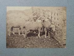 Constant Famin - famin mouton