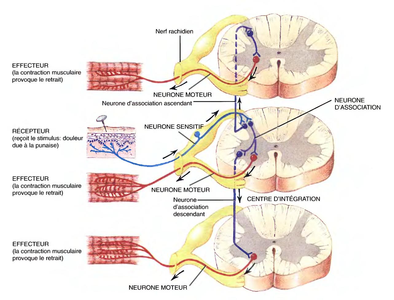 Großzügig Anatomie Und Physiologie Des Herzens Quizlet Bilder ...