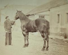 cheval 1860 - SD