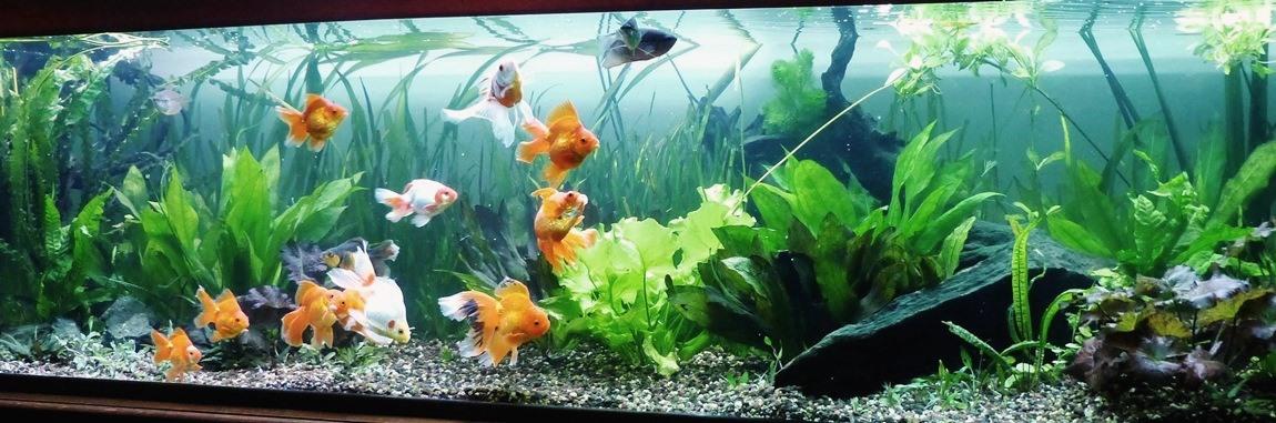 un peu moins de 1000 litres pour des poissons japonais 14022210100912740912006820