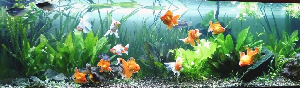 un peu moins de 1000 litres pour des poissons japonais 14022210101712740912006821