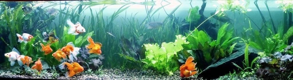 un peu moins de 1000 litres pour des poissons japonais 14022210102412740912006822
