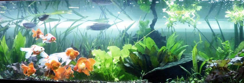 un peu moins de 1000 litres pour des poissons japonais 14022210102912740912006823