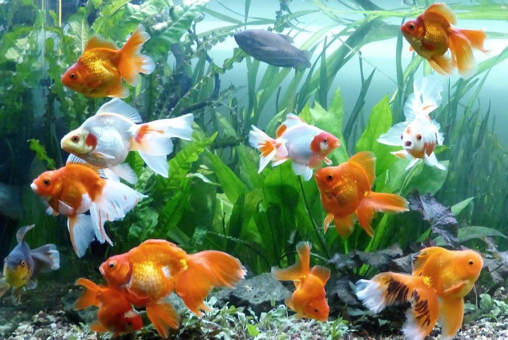 un peu moins de 1000 litres pour des poissons japonais 14022210120112740912006832