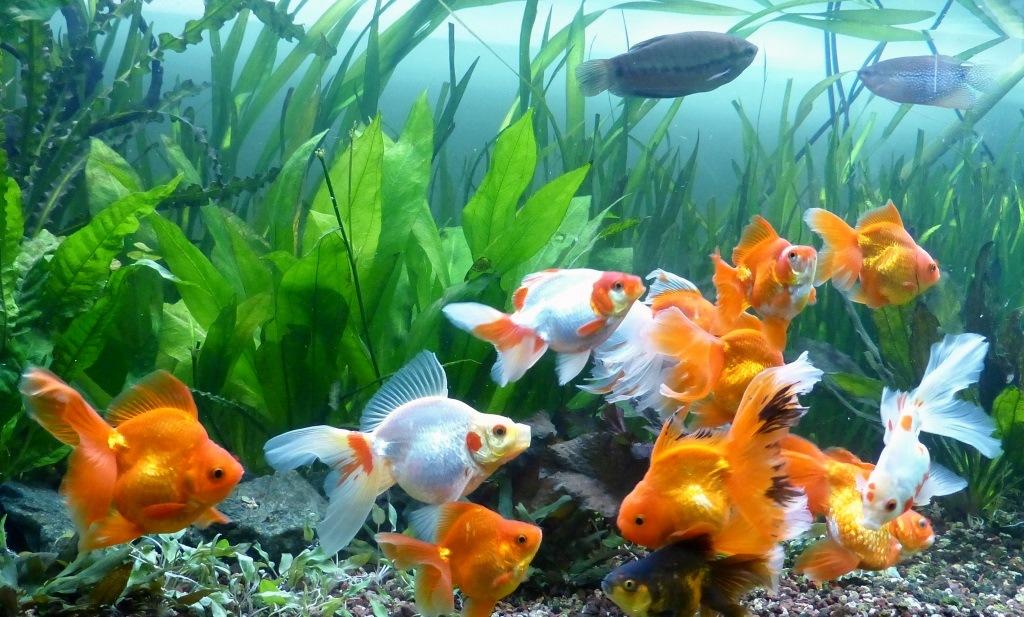 un peu moins de 1000 litres pour des poissons japonais 14022210120812740912006833