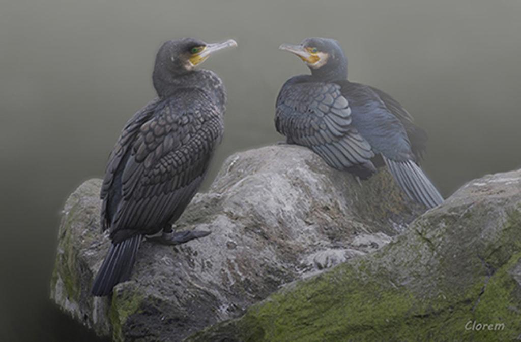 Couple de cormorans 14022312185617155812007827