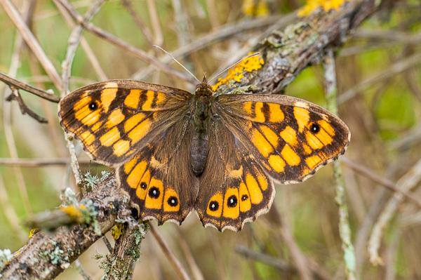 Premières observations de papillons en 2014 1402240720133187612012118