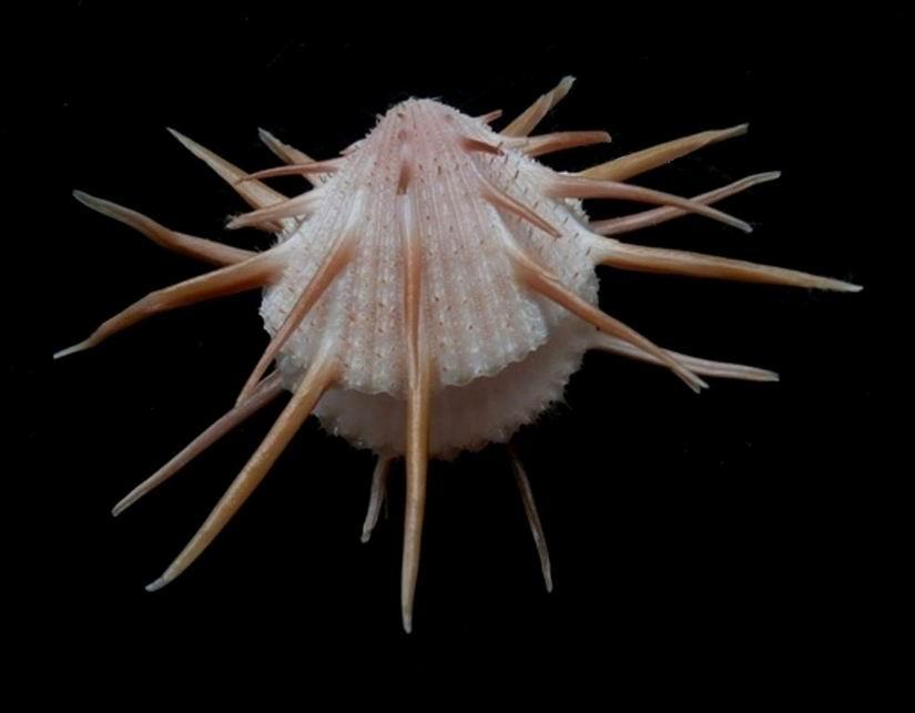 Spondylus imperialis - Chenu, 1844 14022505022014587712014694