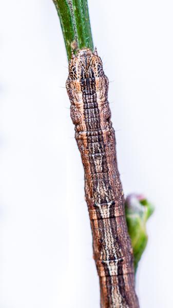 Bonne surprise sur le Genêt! [Compsoptera opacaria] 1403020538243187612028503