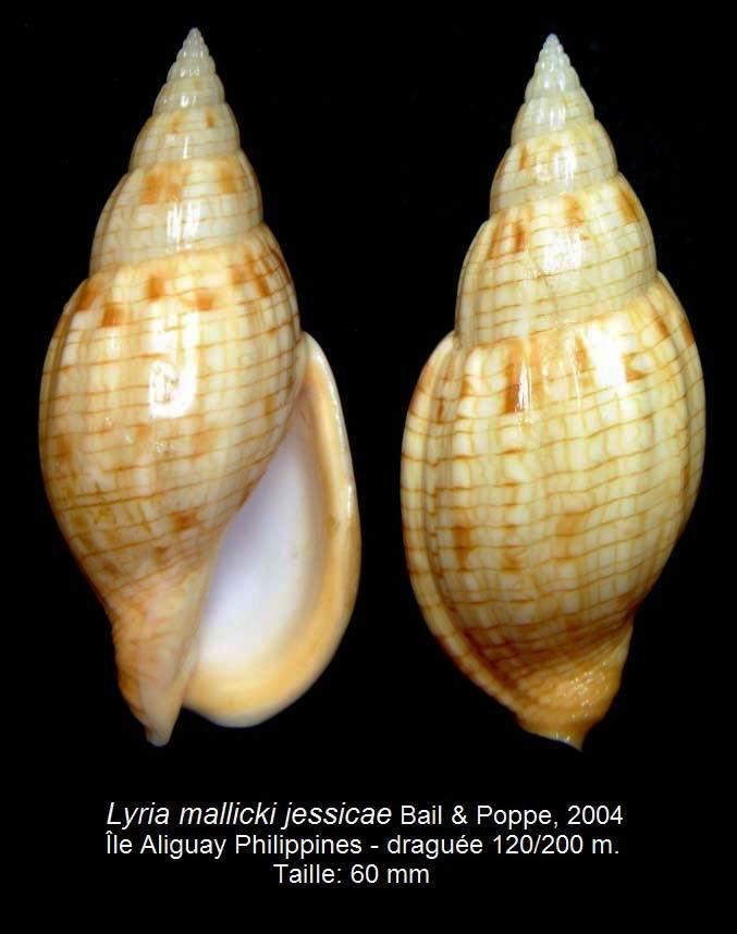Lyria mallicki jessicae - Bail & Poppe, 2004 14032410133314587712094523