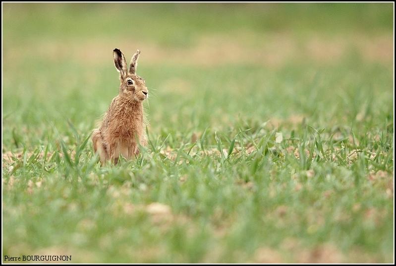 Lièvre (Lepus) par Pierre BOURGUIGNON, photographe animalier, Belgique