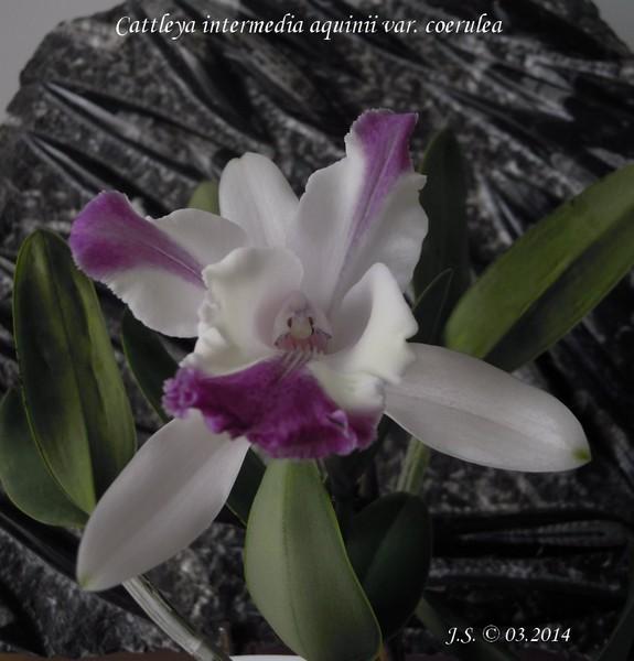Cattleya intermadia aquinii var. coerulea 14033110101611420012113441