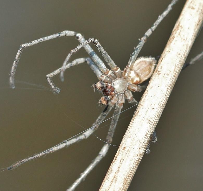 Araignée bleu gris [Philodromus sp.] 140406093441999812128696