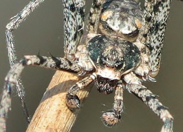 Araignée bleu gris [Philodromus sp.] 140406093557999812128702