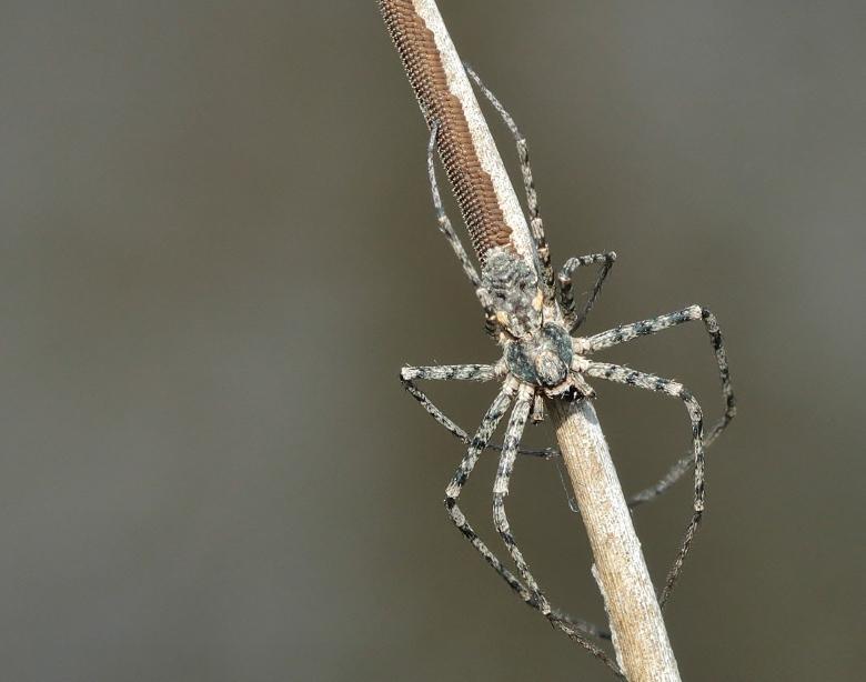Araignée bleu gris [Philodromus sp.] 140406093800999812128707