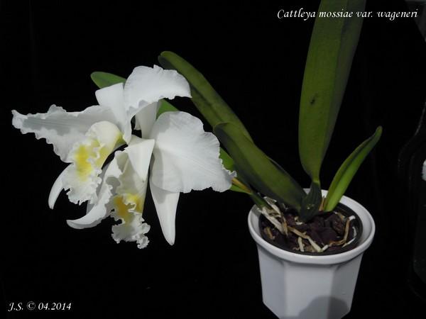 Cattleya mossiae var. wageneri 14041305362911420012146265