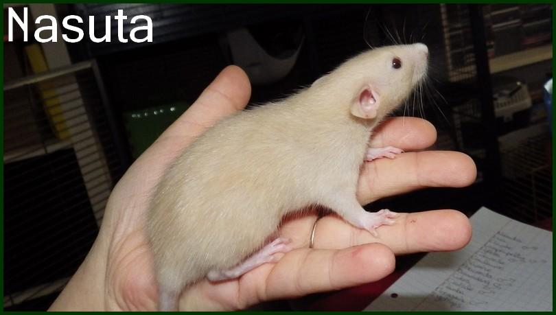 Nasuta (2)