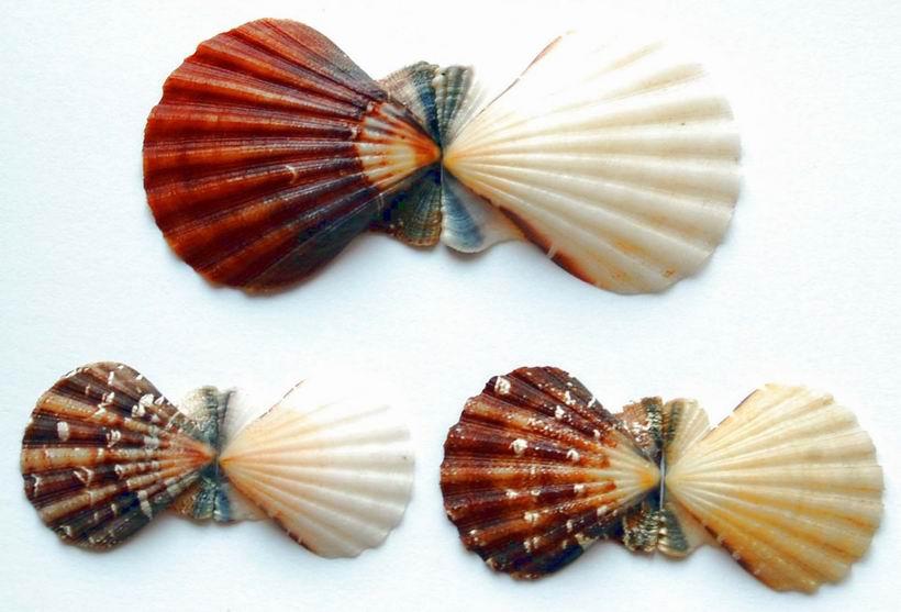 Bractechlamys vexillum - (Reeve, 1853)  14041503070714587712151279