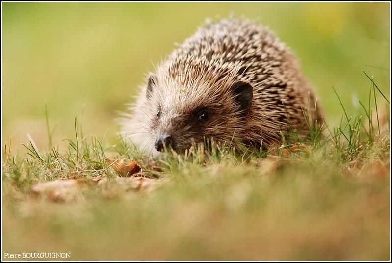 Hérisson d'Europe (Erinaceus europaeus) par Pierre BOURGUIGNON, photographe animalier