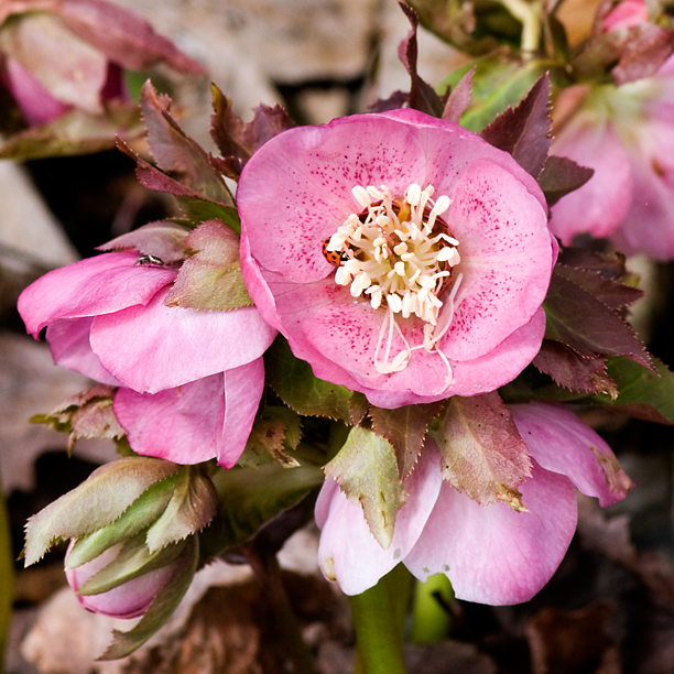 Helleborus Winter Dream Pale Pink