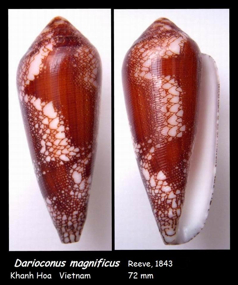 Conus (Darioconus) magnificus   Reeve, 1843 - Page 4 14051010343814587712223717