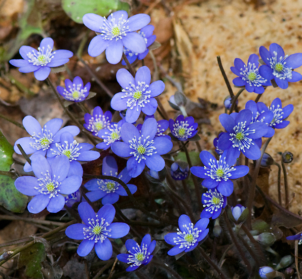 Hepatica nobilis_web2