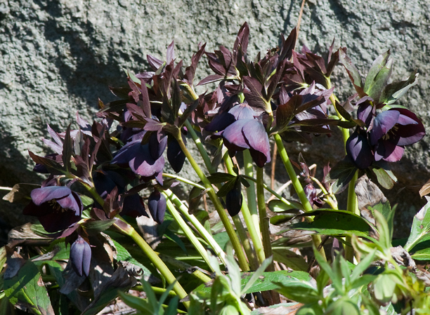Helleborus Black Diamond_web